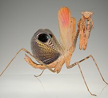 Pseudempusa by blepharopsis