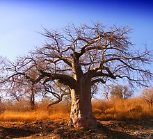 Baobab 1 by Despot