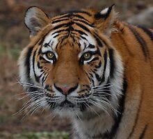 Tiger by Kim Hart