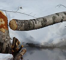 Beaver felled tree by Albert1000