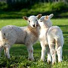 LAMBS IN SPRING WALES UK by kfbphoto