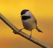 Chickadee by Gaby Swanson  Photography