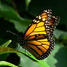 Monarch Butterfly by Margot Kiesskalt