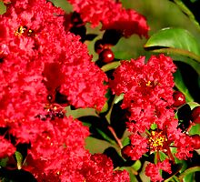Red Crepe Myrtle by Brad Sumner