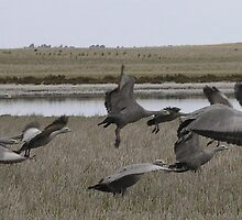 Cape Baron Geese by jemt