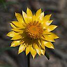 Golden Everlasting Daisy (Xerochrysum bracteatum) by Ben Shaw