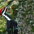 Pileated Woodpecker by Janice Carter