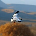 Snow Goose Grace Turning on a Wing by FortPhoto