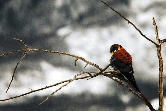 American Kestrel - Winter Perch by Ryan Houston