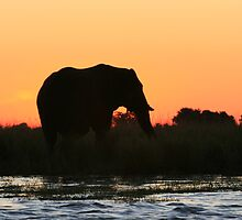 Elephant in Chobe River, Botswana Africa by summer