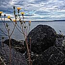 Yellow Dandelion Flowers By The Ocean by MissDawnM