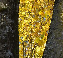 Framing the Maples   by Rod Raglin