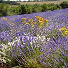 Lavender in Provence  by jensNP