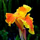 Yellow Canna Lily  by Luis Correia