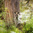 Kangaroo in the bush, the Grampians, Victoria by Elana Bailey