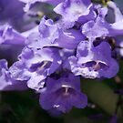 Jacaranda Blossom by Catherine Davis
