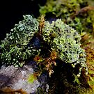 Vietnamese Mossy Tree Frogs (Theloderma corticale) by Jason Weigner