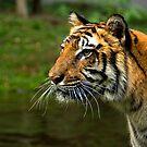 Sumatran Tiger by Frank Yuwono