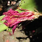 Withered Orchid Cactus! Back patio, 'Arilka' Sth. Aust. by Rita Blom