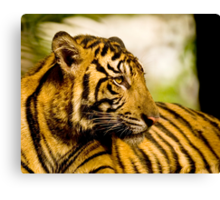 Resting Tiger Canvas Print