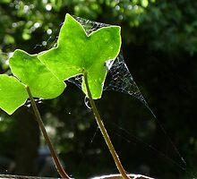 Ivy and sun by Marie Tixier-Brennan