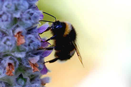 Lavender Bee by Gill Duncan