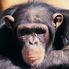 Chimp by Ganz