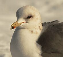 California Gull-Sugarhouse Park, Utah by Ryan Houston