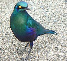 Glossy Starling I by AARDVARK