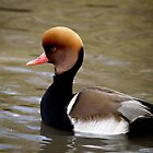 Pochard by Daveart