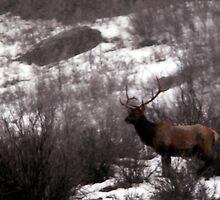Six-Point Bull Elk by Ryan Houston