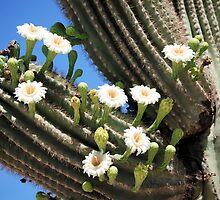 Blooming Saguaro by Kathleen Brant