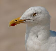 Herring Gull by Roslyn Lunetta