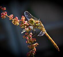 Perched Dragonfly by cyanotype