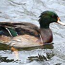 Pretty Duck.......... by lynn carter