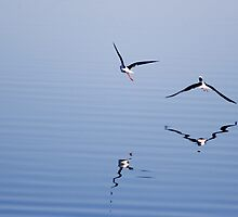 Black-winged Stilts flying over water  by Martin Pot