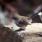 Fairy Wren by Sara Lamond