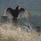 Turkey Vulture by Gene Praag