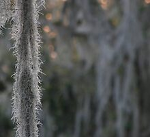 Spanish Moss by Linda Eades Blackburn