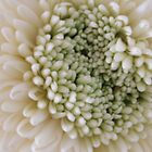 Up close with white chrysanthamun by knightingail