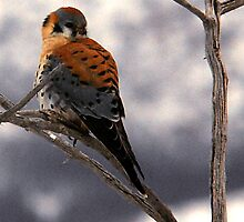 American Kestrel - Farmington Bay, Utah by Ryan Houston