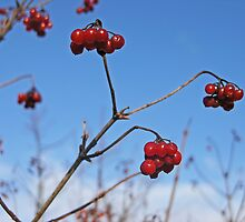 Red Berries by JessieP