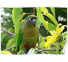 Walk On The Wild Side - Maroon-Bellied Conure - NZ Poster