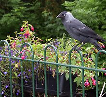 Jackdaw by Tom Gomez