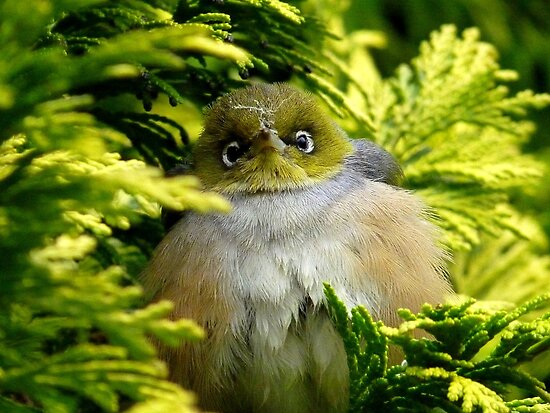 I'm Camouflaged In A Web!  - Silvereye - Wax Eye - New Zealand by AndreaEL
