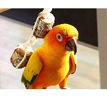"I'm Backpacking On The ""Cheep""!!!- Sunconure - NZ Photographic Print"