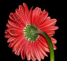 Red Gerbera Daisy by Dipali S