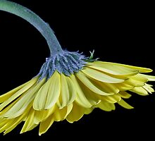 Yellow Gerbera Daisy by Dipali S