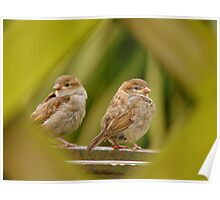 That's A Very Strange Eye Looking At Us.. - Sparrow Fledglings - NZ Poster