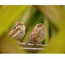 That's A Very Strange Eye Looking At Us.. - Sparrow Fledglings - NZ Photographic Print